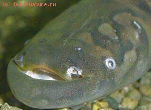 Гимнотовые (Gymnotidae)