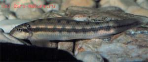 Гиринохейловые (Gyrinocheilidae)