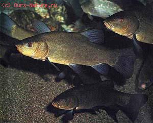 Карповые (Cyprinidae)