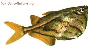Клинобрюхие (Gasteropelecidae)