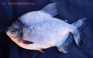 Харациновые (Characidae)