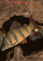Цитариновые (Citharinidae)