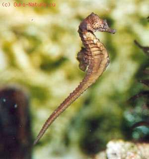 Игловые (Syngnathidae)
