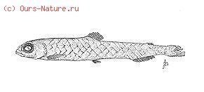 Батилаговые (Bathylagidae)