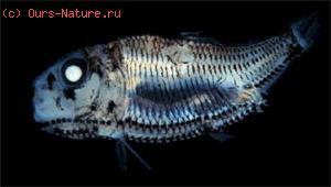 Гоностомовые (Gonostomatidae)