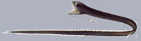 Идиакантовые (Idiacanthidae)
