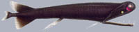 Малакостеевые (Malacosteidae)
