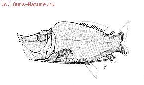 Опистопроктовые (Opisthoproctidae)