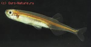 Ретропинновые (Retropinnidae)