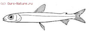 Серебрянковые (Argentinidae)