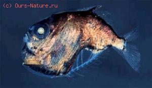 Топориковые (Sternoptychidae)