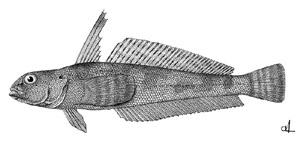 Бородатковые (Harpagiferidae)