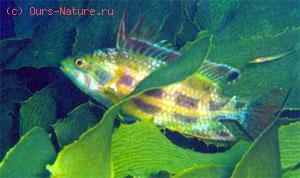 Губаны австралийские (Odacidae)