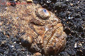Звездочётовые (Uranoscopidae)
