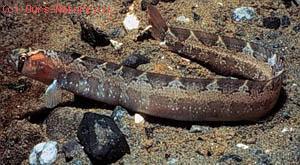 Зубатковые (Anarhichadidae)
