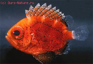 Каталуфовые (Priacanthidae)