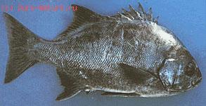 Корациновые (Coracinidae)