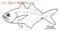 Лактаровые (Lactariidae)