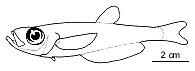 Лжесельдевые (Bathyclupeidae)