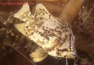 Лоботовые (Lobotidae)