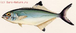 Луфаревые (Pomatomidae)