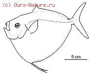 Меновые (Menidae)