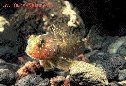 Нототениевые (Notothenidae)