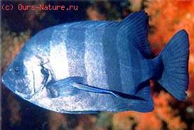 Оплегнатовые (Oplegnathidae)