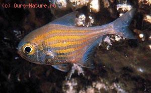Пемферовые (Pempheridae)