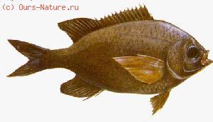 Помадазиевые (Pomadasydae)