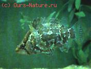 Рыбы нандовые (Nandidae)
