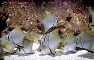 Рыбы-ласточки (Monodactylidae)