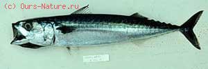 Скумбриевые (Scombridae)