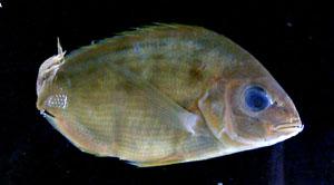 Спаровые (Sparidae)