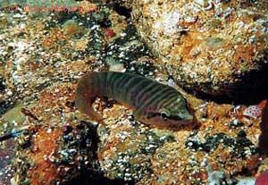 Присосковые (Gobiesocidae)