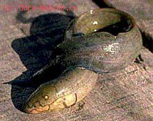 Чешуйчатниковые (Lepidosirenidae)
