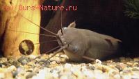 Сомы мешкожаберные (Saccobranchidae)