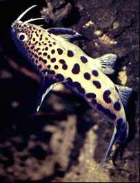 Сомы перистоусые (Mochocidae)