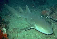 Акулы усатые (Orectolobidae)