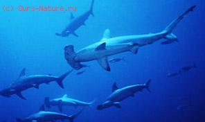Акулы молотоголовые (Sphyrnidae)