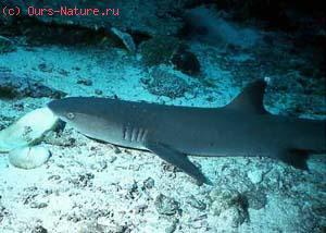 Акулы серые (Carcharhinidae)