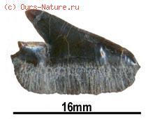Акулы звёздчатошипые (Echinorhinidae)
