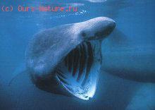 Акулы гигантские (Cetorhinidae)