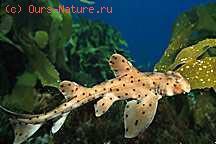 Акулы рогатые (Heterodontidae)