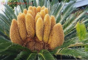 Саговниковые (Cycadaceae)