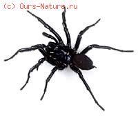 Пауки членистобрюхие (Liphistiidae)