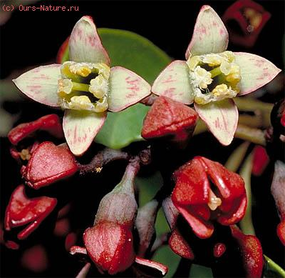 Санталовые (Santalaceae)