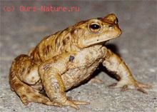 Жабы настоящие (Bufonidae)