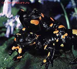 Саламандры настоящие (Salamandridae)
