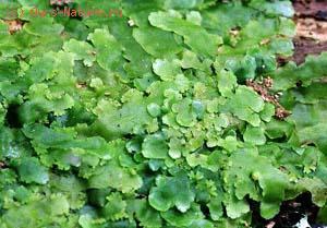 Анеуровые (Aneuraceae)